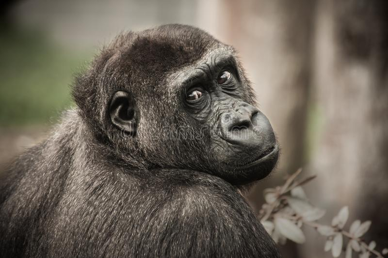 Great Ape, Fauna, Terrestrial Animal, Mammal royalty free stock photography