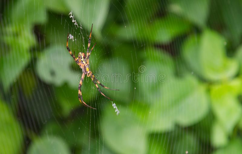 Great Argiope Spider Argiope aemula. In the center of the project web. Waiting for prey royalty free stock photography