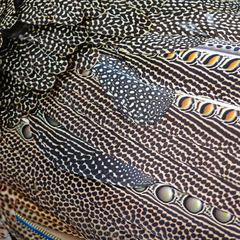 Great argus feathers. Colorful pattern bird feathers of Great argus feathers background stock photo