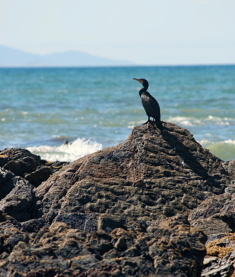 Great australian cormorant royalty free stock photography