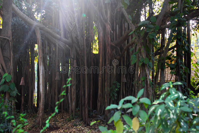 The great Banyan — tree with the world`s largest area of the crown. Located in the Indian Botanical garden in Heure. Bunyan, or, as it is called, tree royalty free stock image