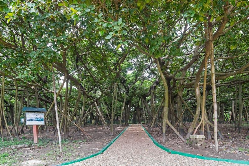 Great banyan tree, Howrah, West Bengal, India stock images