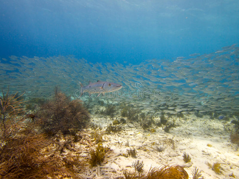 Great Barracuda and Bigeye scad 01 royalty free stock photos