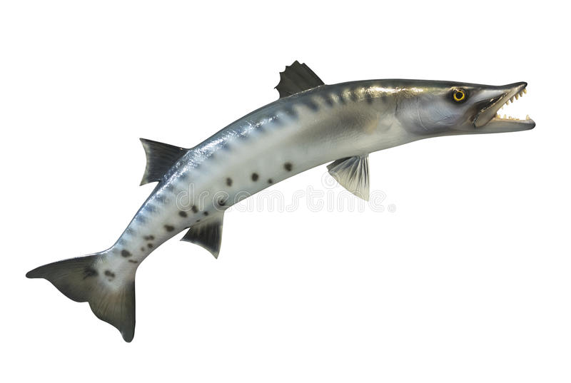Great Barracuda fish, isolated stock images