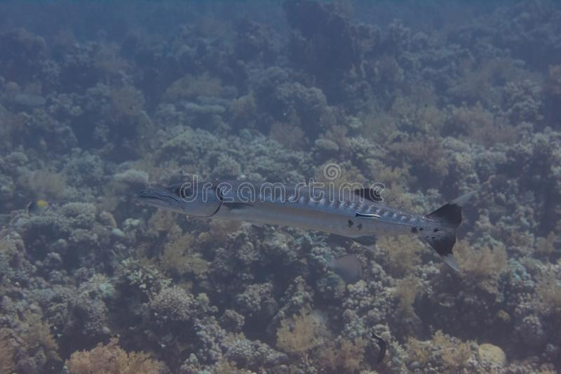 Great Barracuda in Red Sea royalty free stock image