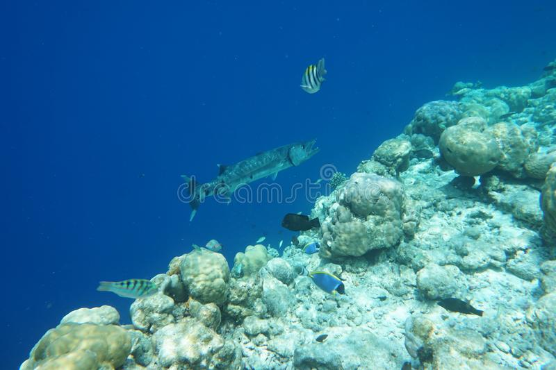 Great barracuda Sphyraena barracuda. Great barracudas are large fish. Mature specimens are usually around 60–100 cm 24–39 in in length and royalty free stock photography