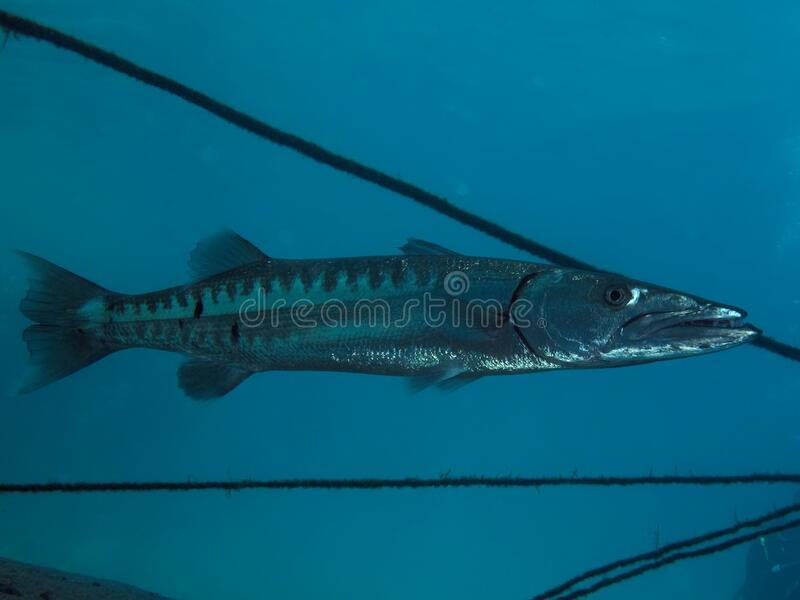 Great barracuda Sphyraena barracuda on blue backgroınd stock photography
