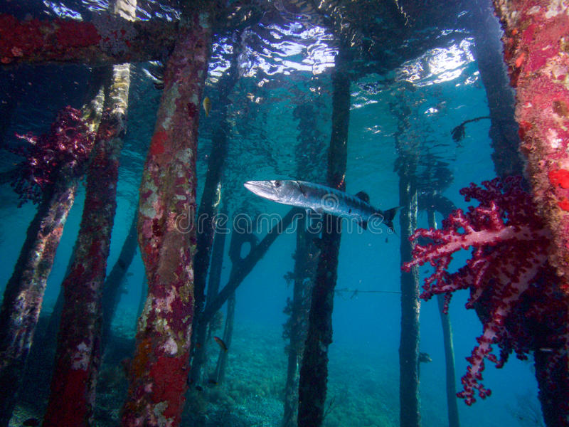 Great Barracuda under a jetty in Raja Ampat, Indonesia. royalty free stock photos