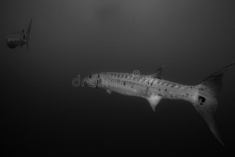 Great Barracudas Black And White Royalty Free Stock Images