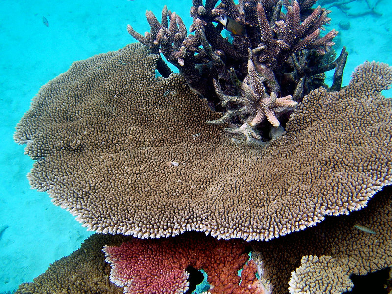 Great Barrier Reef Coral royalty free stock photography