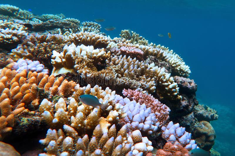 Great Barrier Reef Queensland Australia. Ve Coral reef and tropical fish swimming underwater at the Great Barrier Reef Queensland, Australia royalty free stock photos