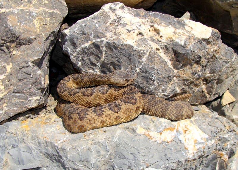 Download Great Basin Rattlesnake, Crotalus Oreganus Lutosus Stock Image - Image: 21065199