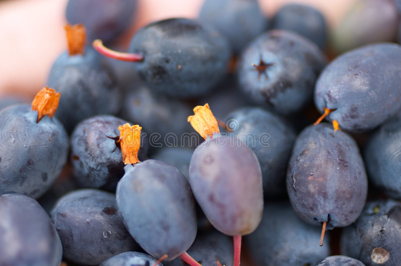 Great bilberry harvest stock image