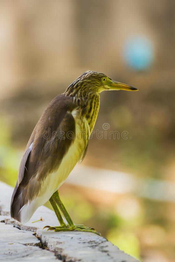 Download Great Bittern stock image. Image of green, reed, hide - 26536489