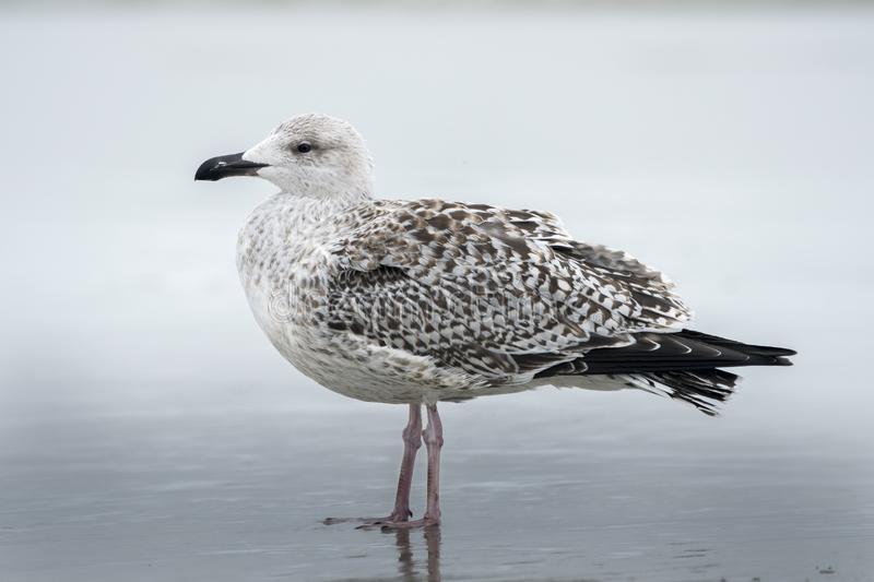 Great Black Backed Gull am Atlantik Strand auf Hilton Head Island, South Carolina, USA stockfoto