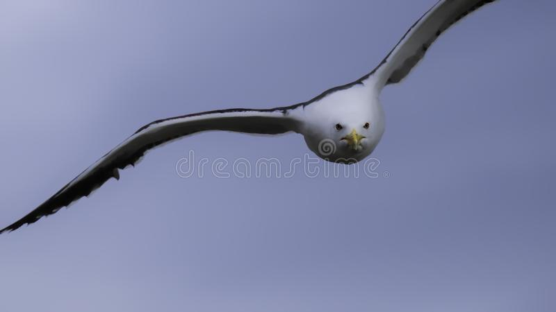 Great black backed gull diving from the sky royalty free stock image