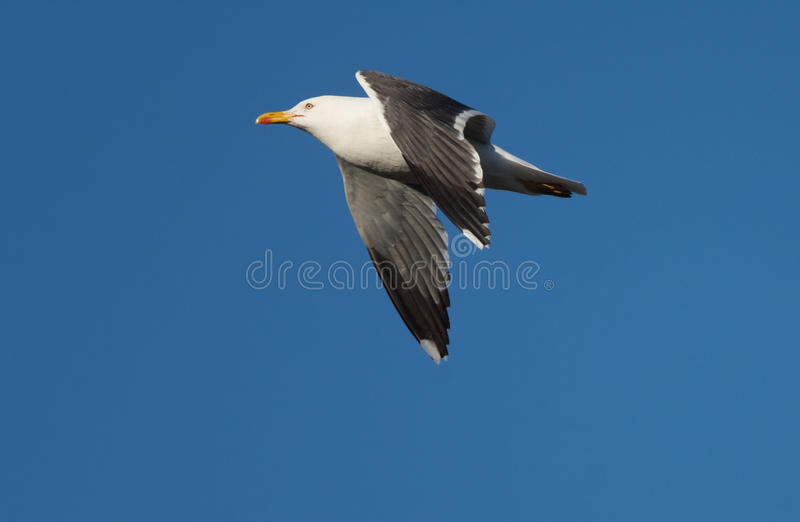 Great black-backed gull in flight, Reykjanes peninsula, Iceland. Great black-backed gull, the largest of the gull family. Always majestic in flight with powerful royalty free stock images