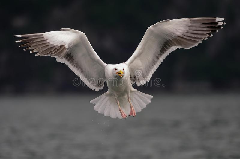 Great black backed gull are flying , norway. Great black backed gull are flying, romsdalfjord, norway, larus marinus royalty free stock images