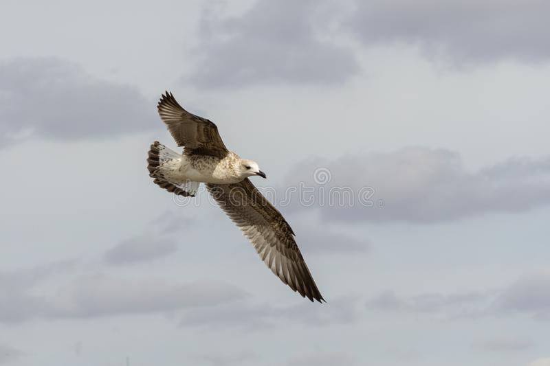 Great Black-backed Gull, immature seagull Larus Marinus flying in calm light gray cloudy sky. Beautiful close-up of young seagull stock image