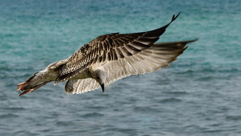Great Black-backed Gull, immature seagull Larus Marinus flying over emerald waves of Black Sea, Feodosia. Crimea. Beautiful close-up of young seagull stock photo