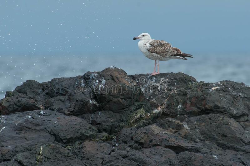 Great Black-backed Gull. Juvenile Great Black-backed Gull standing on a rock stock photography