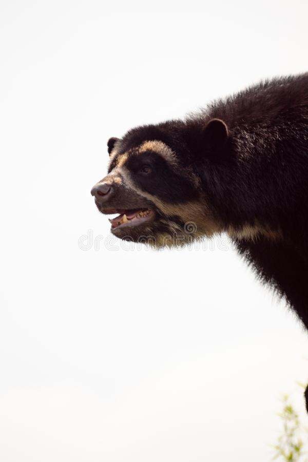 Great black bear on white sky backgroung stock photography