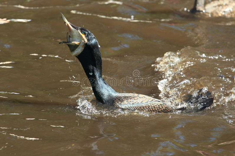 Great Black Cormorant Royalty Free Stock Images