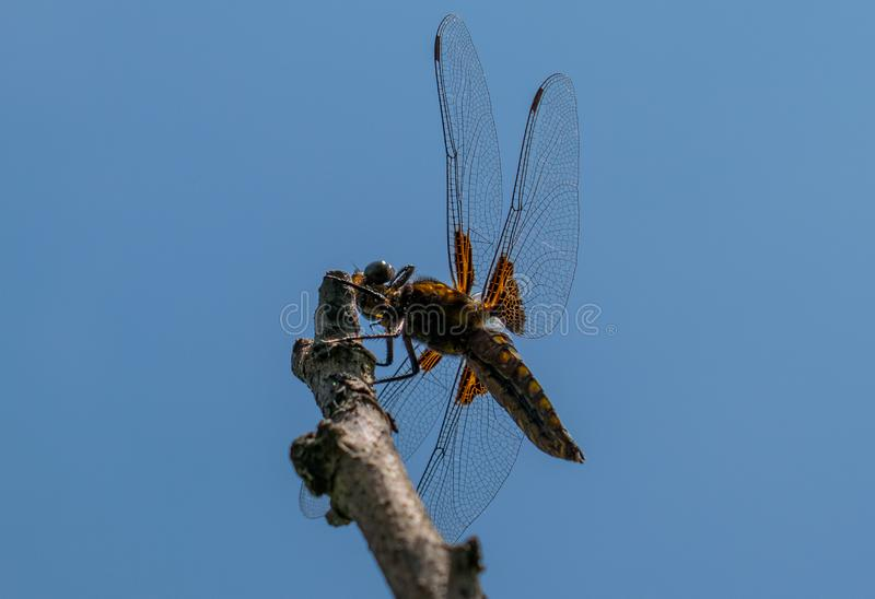 A great and blue dragonfly prepares to fly. the wonders of nature.  stock photos