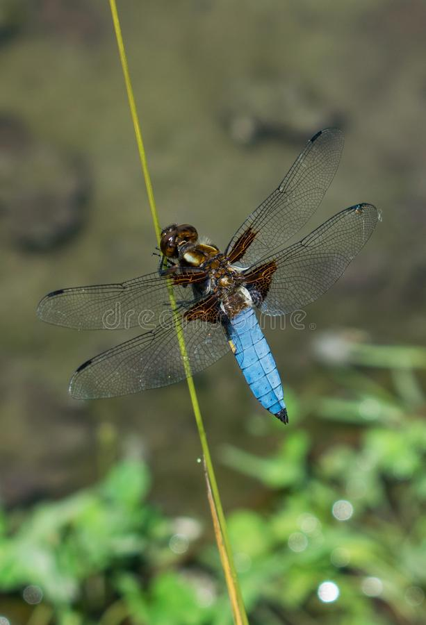 A great and blue dragonfly prepares to fly. the wonders of nature.  royalty free stock images