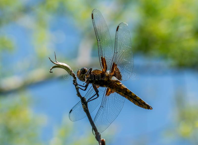 A great and blue dragonfly prepares to fly. the wonders of nature royalty free stock photo