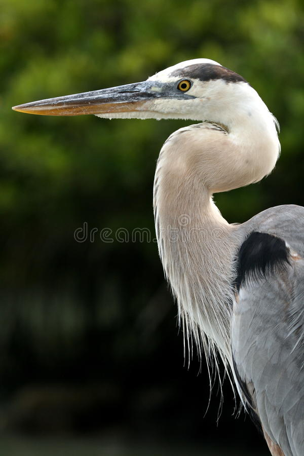 Free Great Blue Heron Stock Image - 12255131