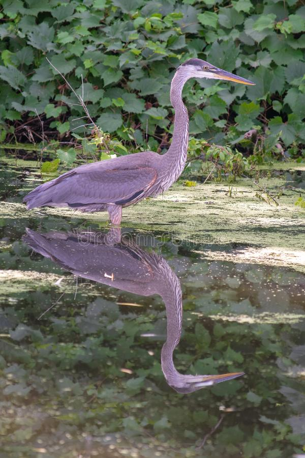 Great Blue Heron close up with a beautiful reflection. A profile look at the Great Blue heron in great lighting in Ontario, Canada. A beautiful evening stock image