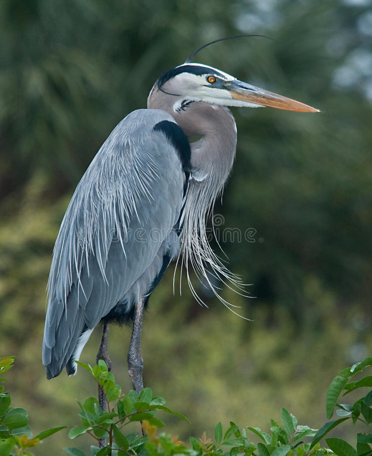 Free Great Blue Heron Royalty Free Stock Images - 12978609