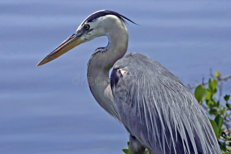 Download Great blue heron stock photo. Image of herons, birds, heron - 1406232