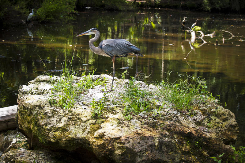 Great Blue Heron. Staying still as always at Homosassa Springs stock photo