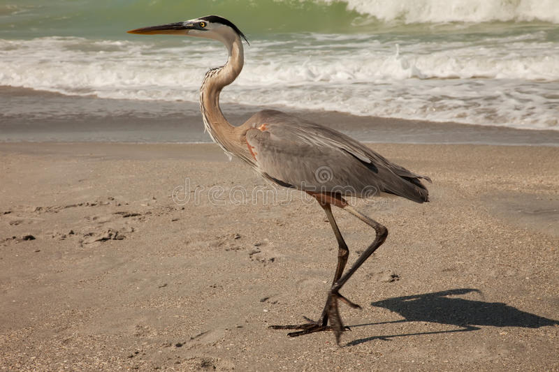 Download Great Blue Heron stock photo. Image of great, blue, egret - 15930060