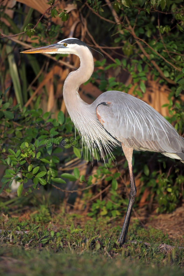 Download Great Blue Heron stock photo. Image of staring, blurred - 16697776