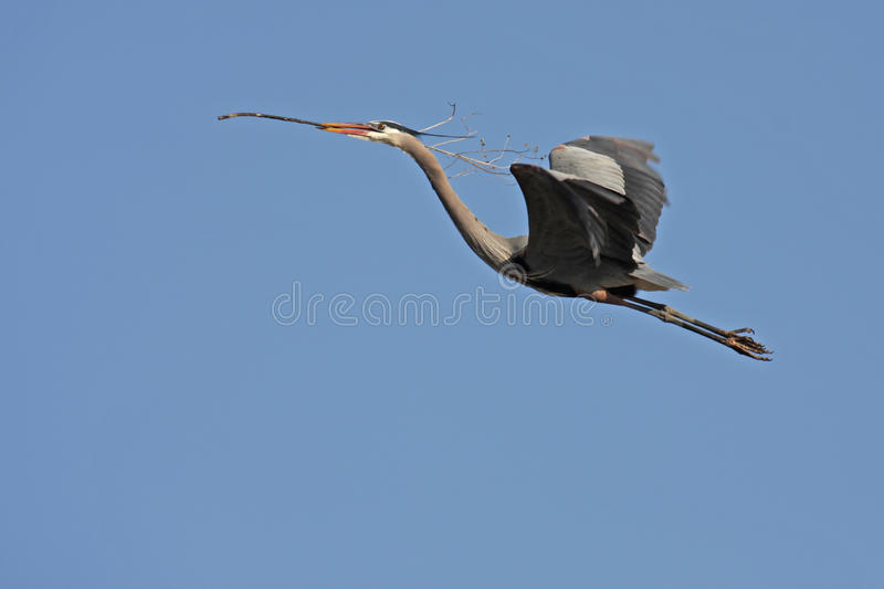Download Great Blue Heron stock photo. Image of winged, blue, large - 19159306