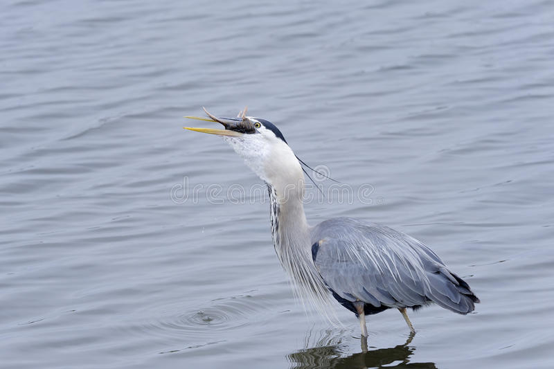Download Great blue heron stock photo. Image of looking, hunter - 20614416