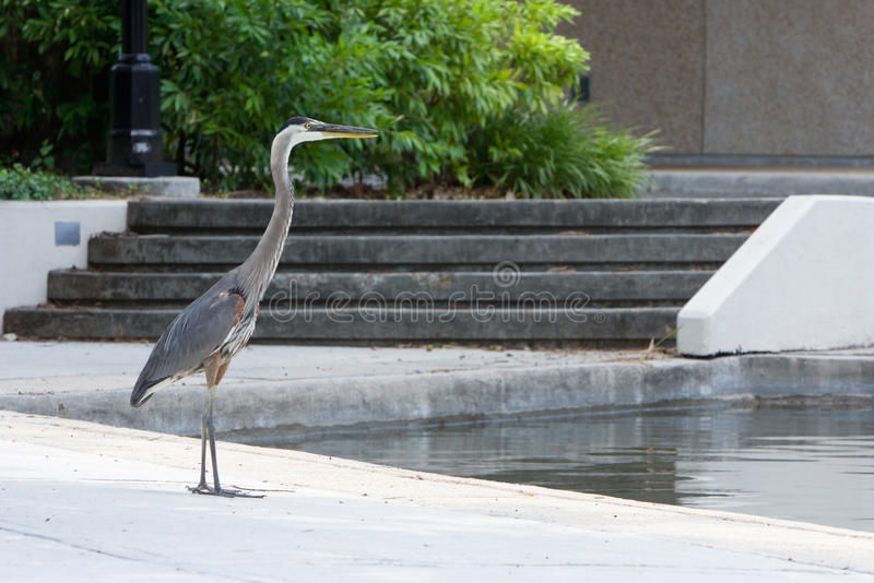 Great Blue Heron. Standing on a walkway of a downtown park royalty free stock photo