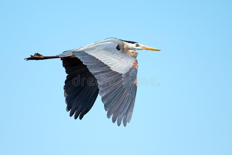 Great Blue Heron royalty free stock photos