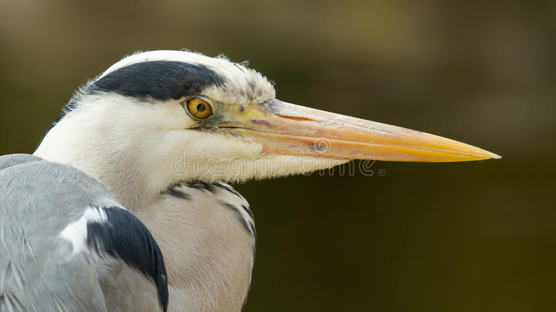Download Great blue heron stock image. Image of feather, colorful - 24865203