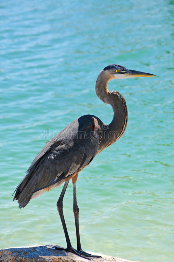 Great Blue Heron Stock Photo