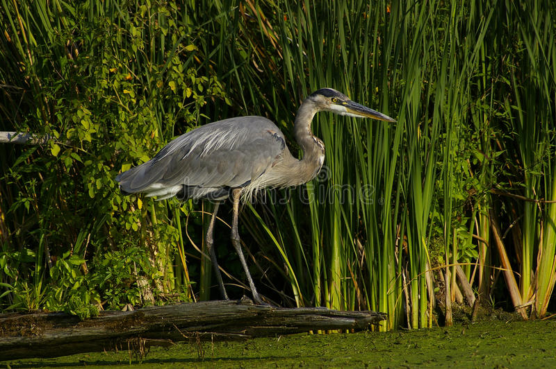 Great Blue Heron royalty free stock photos