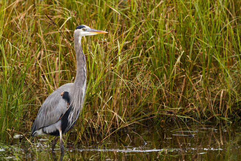 Download Great Blue Heron Royalty Free Stock Photography - Image: 28535147