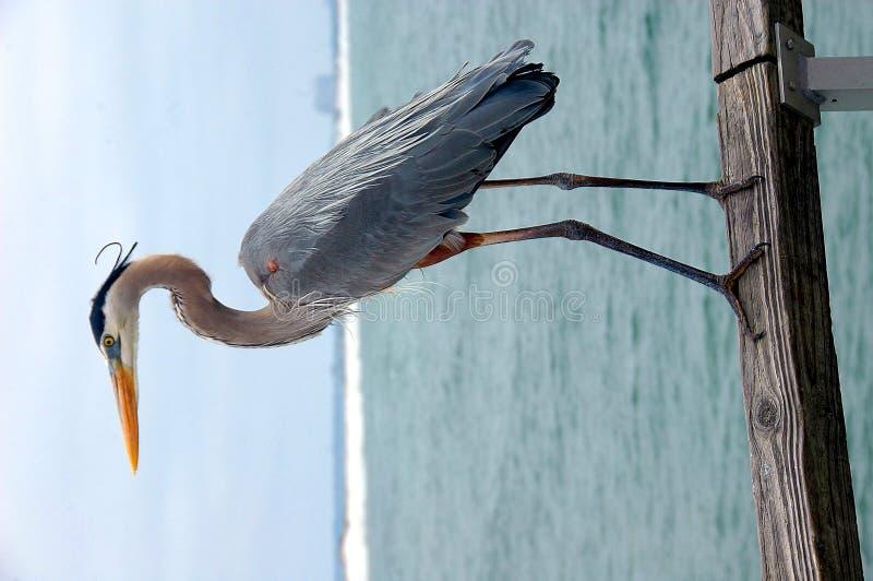 Free Great Blue Heron Stock Photos - 4971413