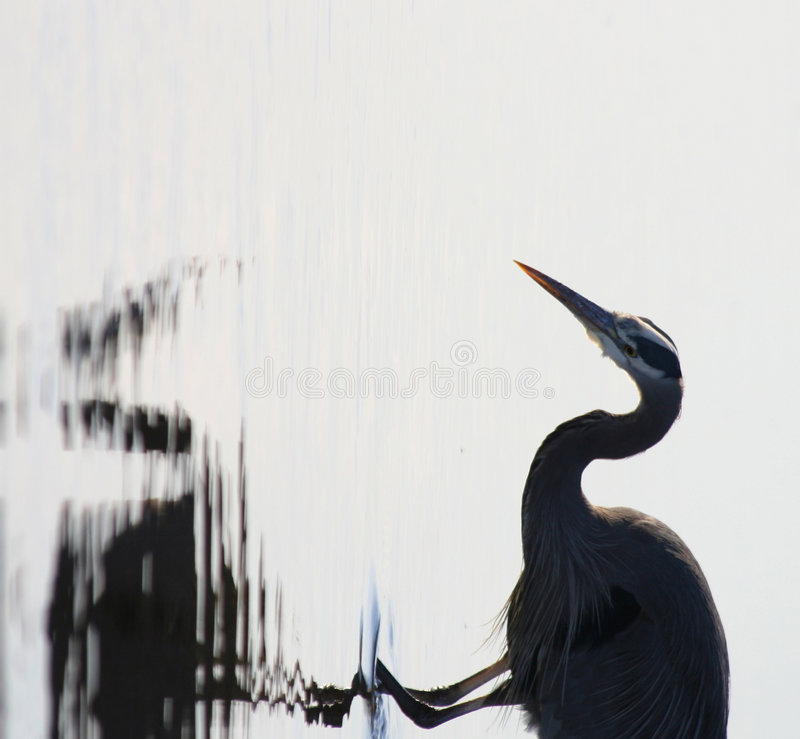 Download Great blue heron stock image. Image of shoreline, searching - 6479695