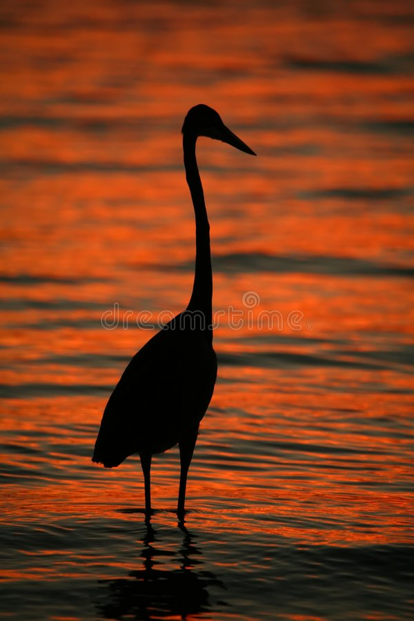Download Great Blue Heron stock photo. Image of birds, nature, sunrise - 6527346