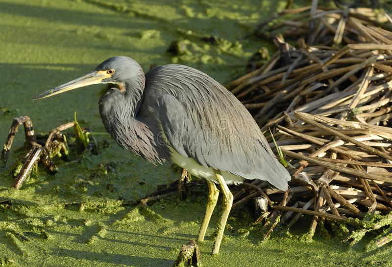 Download A Great Blue Heron stock photo. Image of sunrise, marshy - 8464166