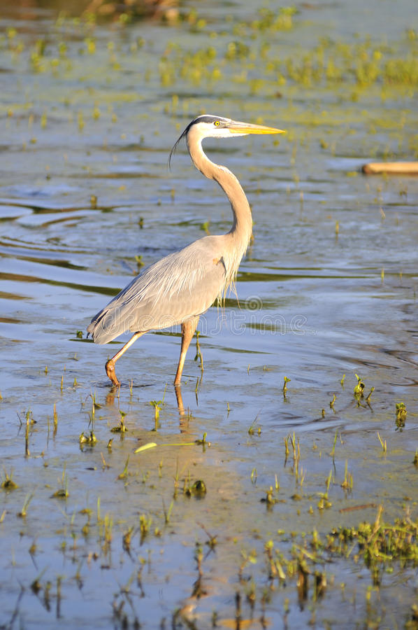 Free Great Blue Heron Stock Photography - 9415732